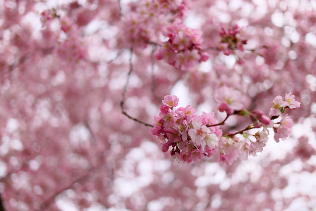 Pink cherry blossom on a gray day