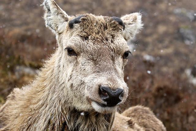 Red Deer Stag - Scottish Higghlands