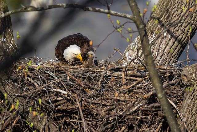 Mom with her Eaglet