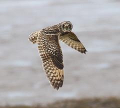Short-eared Owl, Kilnsea