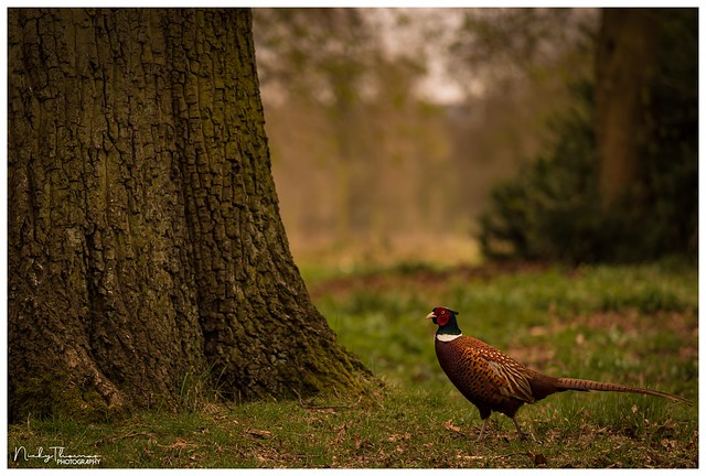 Pheasant, Normanby Hall