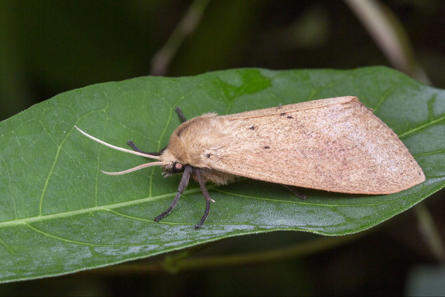_Z2A9597 Spilosoma cervina tiger moth