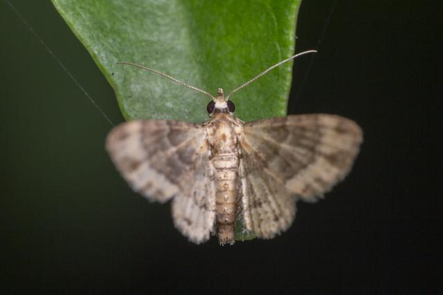 _Z2A9546 pug moth