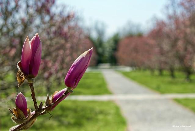 Magnolia season....