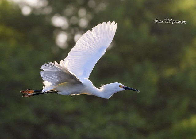 Snowy egret (flight)[Explore 4/10/21]