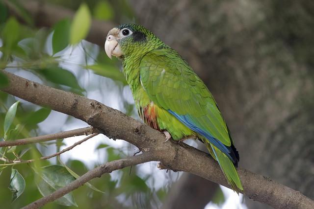 Cotorra de La Española, Amazona ventralis, Hispaniolan Parrot