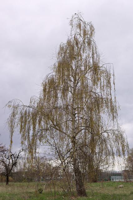 Birch tree in bloom