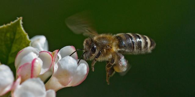 Bee approaching Viburnum flower