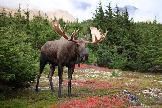 Canon EOS R5 and RF 100-500 Lens Create Giant Bull Moose Environmental Portrait, Alaska