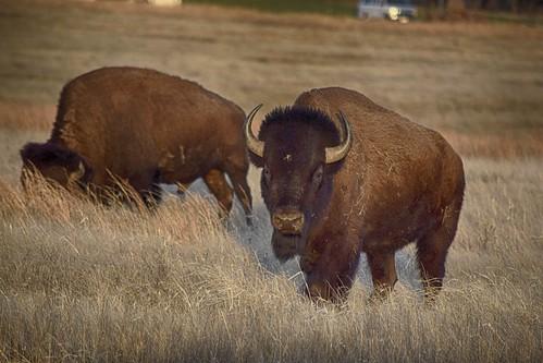 Bison HDR