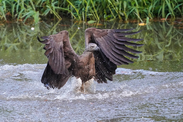 Grey headed fish eagle in water after failed dive