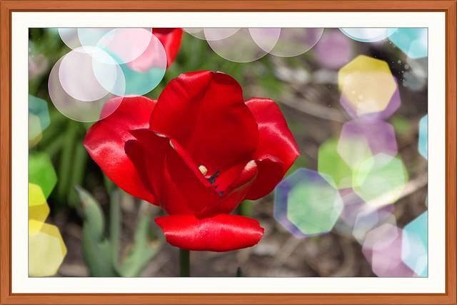 Toronto Ontario ~ Canada ~ Edwards Gardens ~ Botanical Garden ~  Red  Tulip with Bokehs