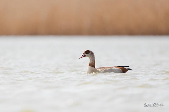Egyptian goose, husice nilská, CZE, 2021