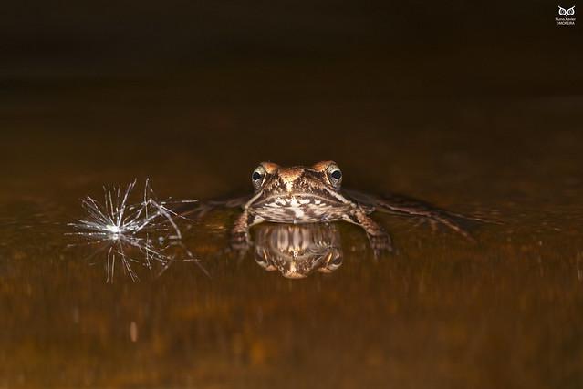 Ra-iberica, Iberian Frog (Rana iberica)