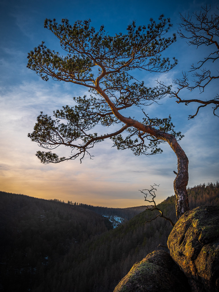 Pine tree over the hills