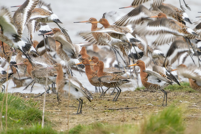 Black-tailed godwit_D85_7712_10April2021-01_FLICKR + PRINT