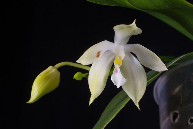Phal. (micholitzii xJennifer Palermo) x (tetraspis x mariae)