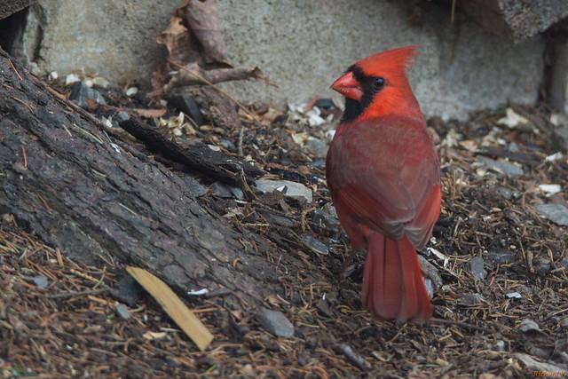 Cardinal rouge mâle - Northern Cardinal - Québec, PQ, Canada - 3688