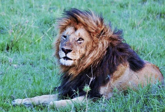 Male Lion Waking Up From A Nap (Panthera leo)