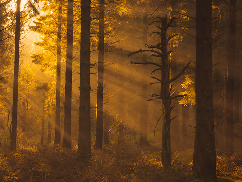 woodlandphotography woodland forest nature sunlight sunrays mist tree trees treescape somerset mendiphillsaonb england sunrise earlymorning landscape outdoor