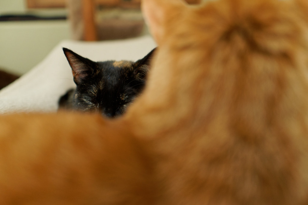 Our cat Trixie is visible behind our cat Sam as they sleep in my lap on March 31, 2021. Original: _RAW5871.arw