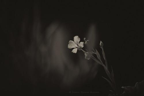 (Fiordilino) Soul of a flax flower