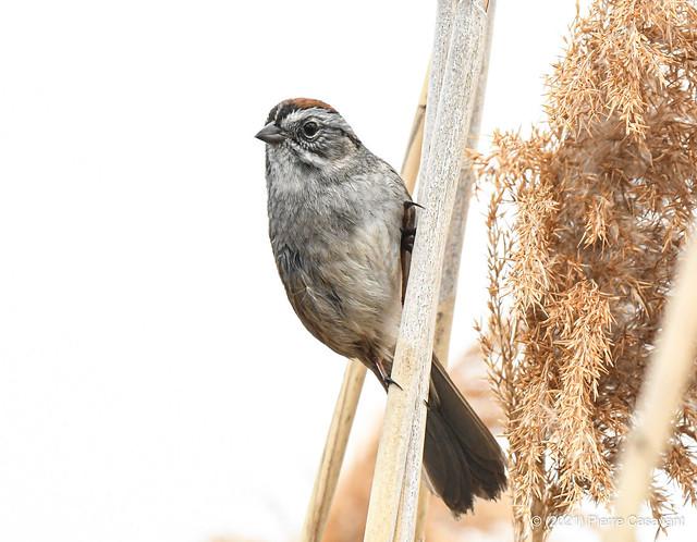 Bruant des marais, Swamp Sparrow.  DSC_3578