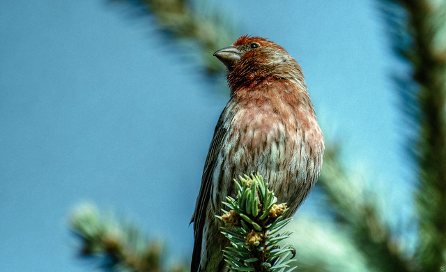 House Finch. Adult male