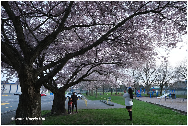 We Have Smiles Under Cherry Blossoms - Blundell XTT0954e