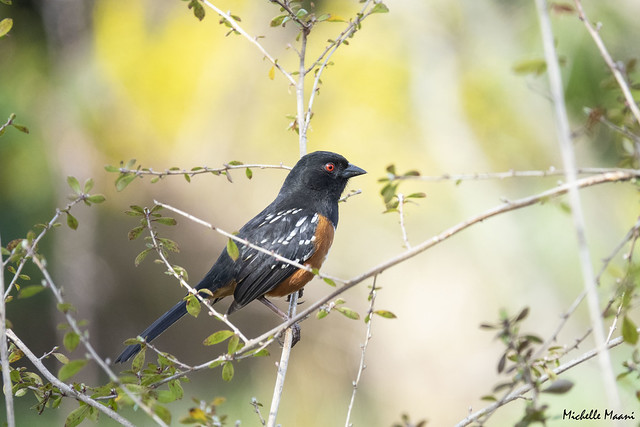 Spotted Towhee in a spring garden