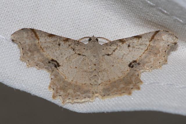 Makunda Insects-15202 - Calletaera subexpressa