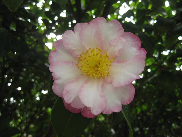 An Edna Butler Camellia - Preston