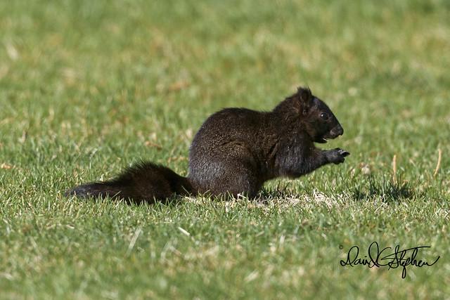 Black Squirrel In Longmont City Park