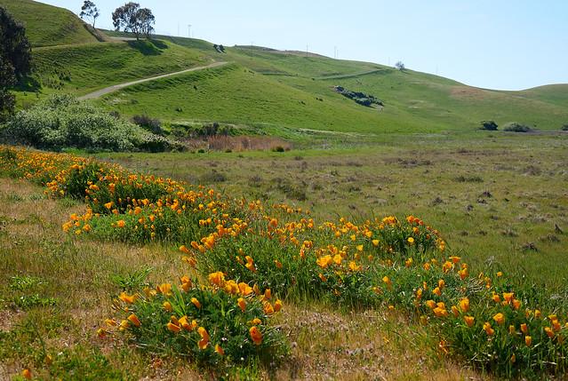 Coyote Hills - Blooming