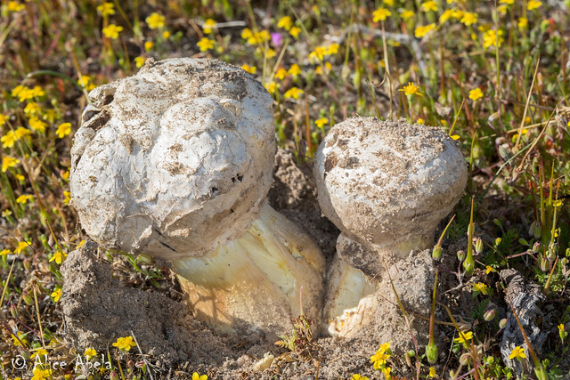 Gasteroid Agaricus (Agaricus deserticola)