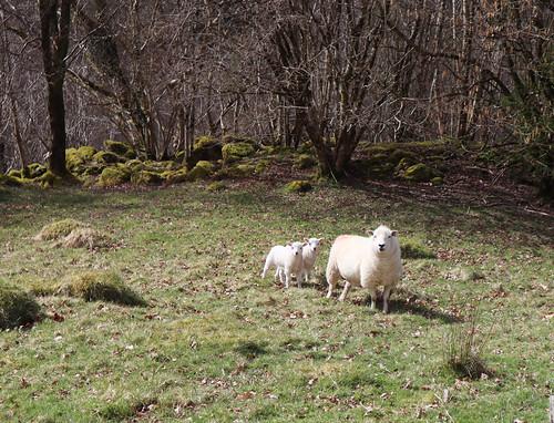 Ewe & lambs