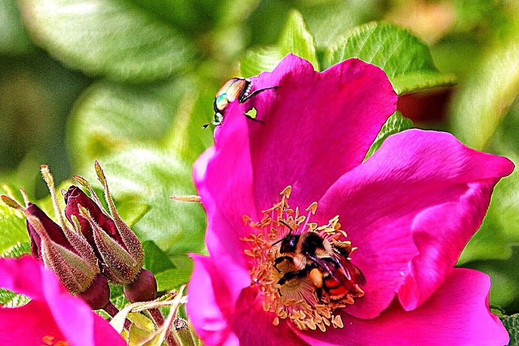 Lake Placid - New York - Flower Garden -  Beetle & Bumble Be