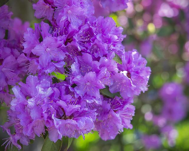 Rhododendron 'Peter John Mezzit Elite'