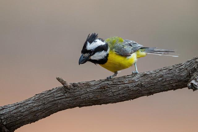 Crested Shriketit - Falcunculus frontatus