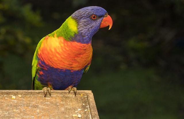 Rainbow Lorikeet on our deck