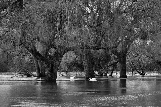 The weeping willows of the park
