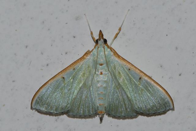 Makunda Insects-15200 - Arthroschista hilaralis