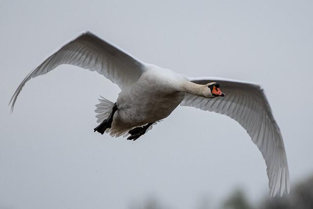 Schwan im Flug / Swan in flight