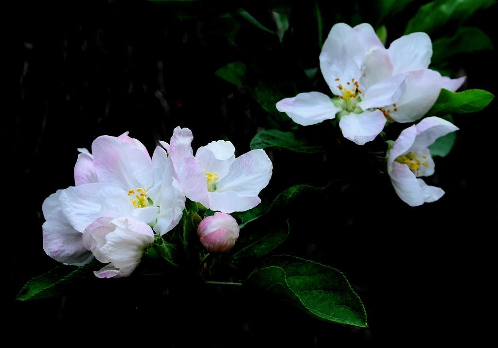 Flors de pomera