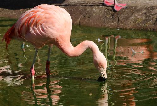 Flamingo Reference #51