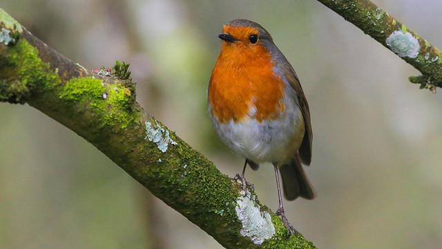 Robin on its Perch..
