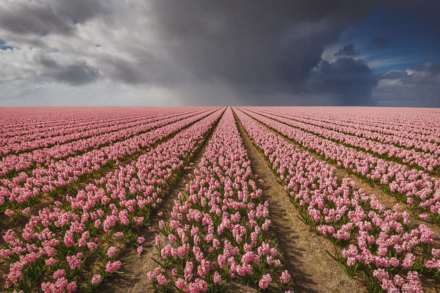 Hyacinth fields forever