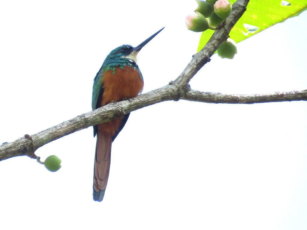 Tratando de mejorar los registros que tengo de este bello Jacamar colirrufo, solicité la ayuda de Walter Escudero, quién sé lo tiene bien referenciado en varias zonas de San Rafael, Antioquia.