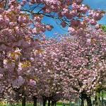 Pink Spring in Preston
