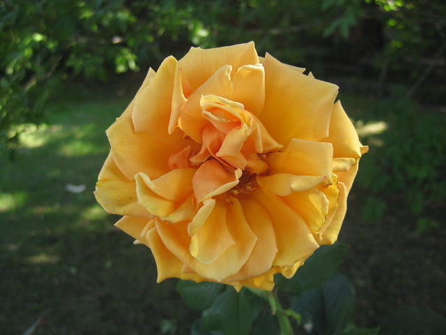 An Apricot Rose - Preston